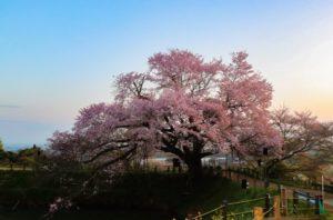 浅井の一本桜(福岡県の桜の観光名所)