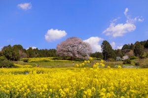 馬場の山桜(佐賀県の桜の観光名所)